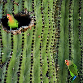 Lovebirds and the Saguaro