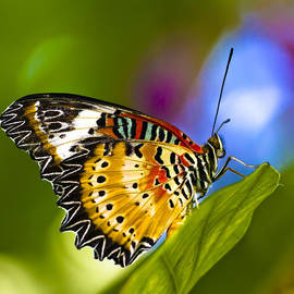 Malaysian Lacewing  5475 by Marcia L Getto