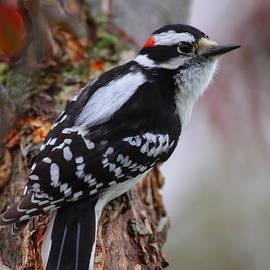 Male Downy Woodpecker by Bruce J Robinson