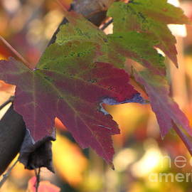Maple Leaf by Richard Nickson