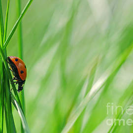 Tanja Riedel - Ladybug in the meadow