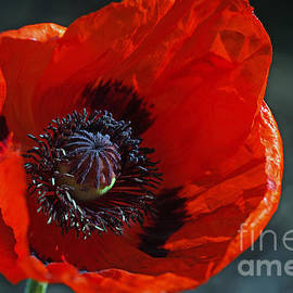 Tanja Riedel - Big red Poppy