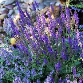 Morning Light On Purple Flowers by Carol Groenen