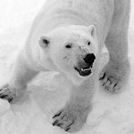 Tommi Saarela - Mother Polar Bear