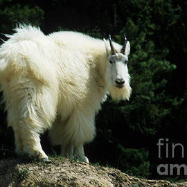 Mountain Goat 3 by Bob Christopher