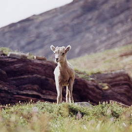 Mountain Goat Kid by Maili Page