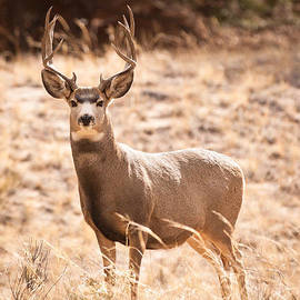 Mule Deer Buck by Adam Pender