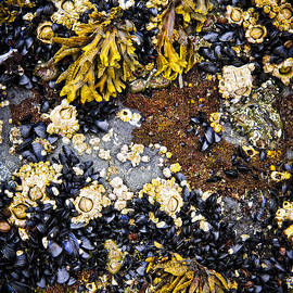 Mussels and barnacles at low tide by Elena Elisseeva