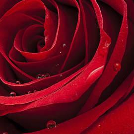 Ivan Vukelic - My Rose