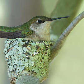 Nesting Ruby-throated by Dale J Martin