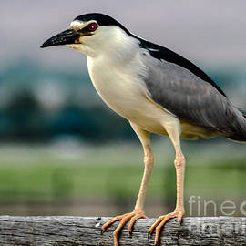 Robert Bales - Night Heron