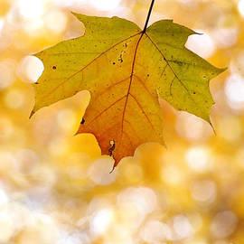 Angie Rea - October Maple Leaf