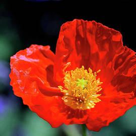 Orange Poppy by Bill Dodsworth