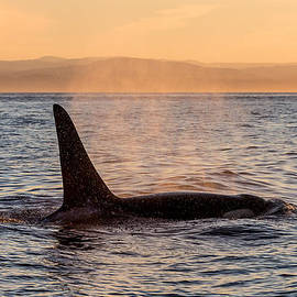 Orca at Sunset by Bill Lindsay