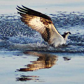 Bill Cannon - Osprey Crashing the Water