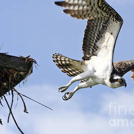Osprey flying from nest by John Van Decker