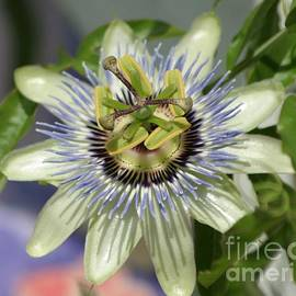 Passion Flower Close Up by Living Color Photography Lorraine Lynch
