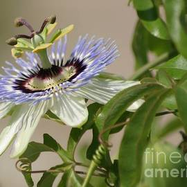 Passion Flower Profile by Living Color Photography Lorraine Lynch