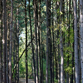 Kenna Westerman    - Path Among the Pines