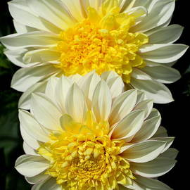 Pearly White Dahlia by Christiane Schulze Art And Photography
