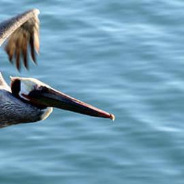 Brad Holderman - Pelican in Flight