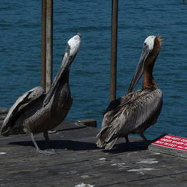 Shelley Aasland - Pelicans on the Warf
