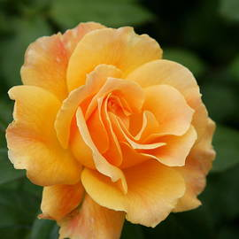 Perfect English Rose by Christiane Schulze Art And Photography