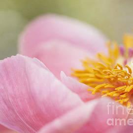 Pink Peony Macro by Susan Gary