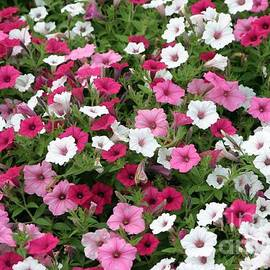 Pink Petunia Wall by Living Color Photography Lorraine Lynch