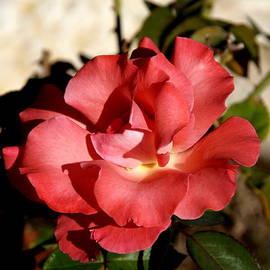 James Granberry - Pink Rose I