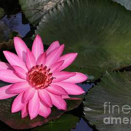 Pink Water Lily in the Lily Pond by Sabrina L Ryan