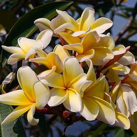 Plumeria Cluster by Sally Weigand