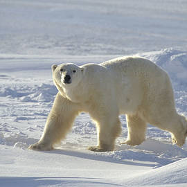 Polar Bear On The Near Shore Ice by Flip Nicklin