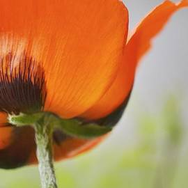 Poppy by Traci Cottingham