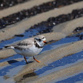 Protected Piping Plover Poses by Mike Martin