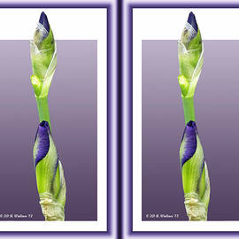 Brian Wallace - Purple Iris Buds - Gently cross your eyes and focus on the middle image