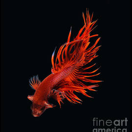 Red Betta Fish by Visarute Angkatavanich