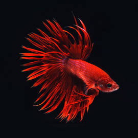 Red Betta by Visarute Angkatavanich