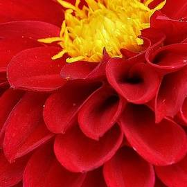 Bruce Bley - Red Dahlia 2