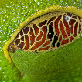 Red Eyed Tree Frog Eyelid Costa Rica by Piotr Naskrecki