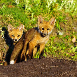 Red Fox Cubs by Bill Dodsworth
