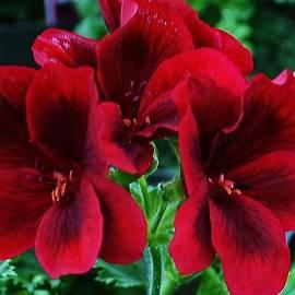 Bruce Bley - Red Geranium