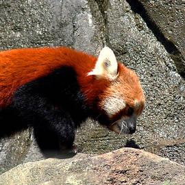 LeeAnn McLaneGoetz McLaneGoetzStudioLLCcom - Red Panda