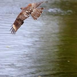Roy Williams - Red Shouldered Hawk Series - In Flight