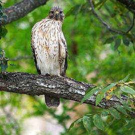 Roy Williams - Red Shouldered Hawk Series - The Look