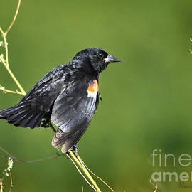 Red-Winged Blackbird by Nava Thompson