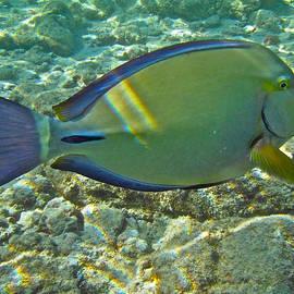 Michael Peychich - Ringtail Surgeonfish