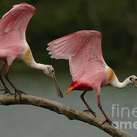 Roseate Spoonbills by Bob Christopher