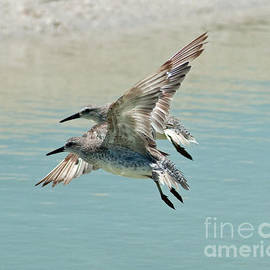 Sandpipers in Sync by Stephen Whalen