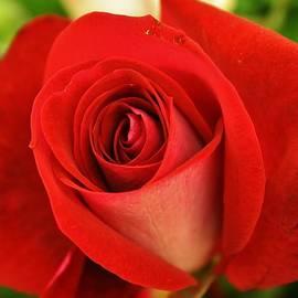 Bruce Bley - Scarlet Rose